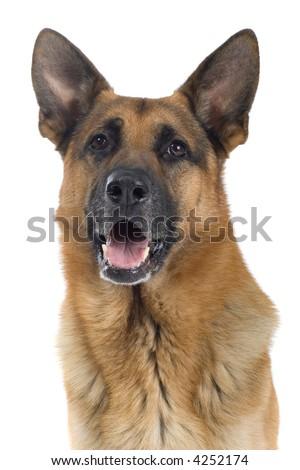 Portrait of a German Shepherd - stock photo