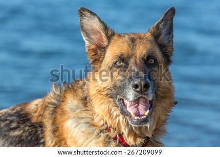 Portrait of a German Shepherd near water.