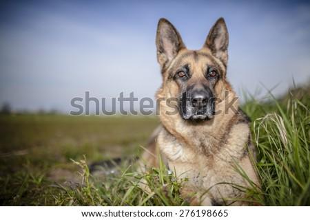 Portrait of a German Shepherd outdoor. - stock photo