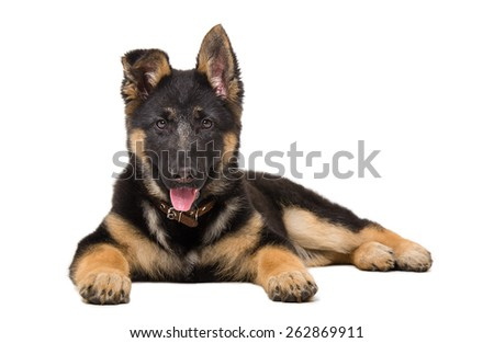Portrait of a German shepherd puppy lying isolated on white background - stock photo