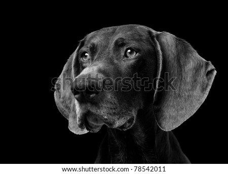 Portrait of a German Shorthaired Pointer isolated on black - stock photo