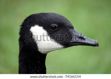 Portrait of a Giant Canadian Goose with black and white feathers