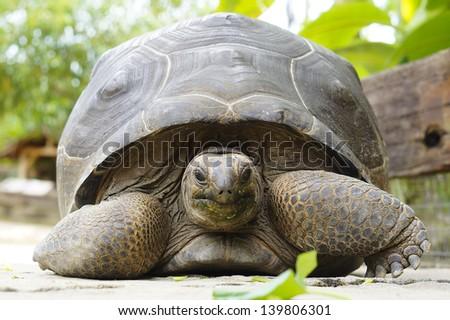 Portrait of a giant tortoise - stock photo