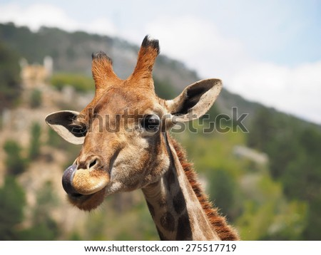 portrait of a giraffe - stock photo