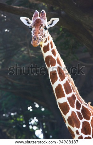 Portrait of a giraffe - stock photo