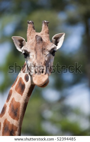 portrait of a giraffe (Camelopardalis) against green background - stock photo