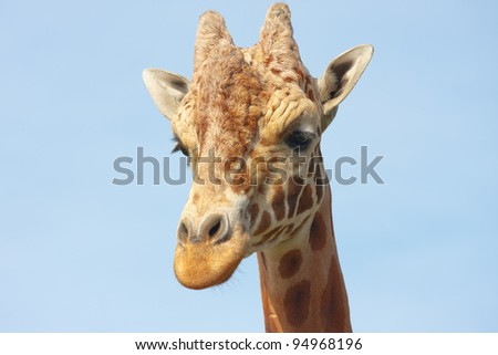 Portrait of a giraffe, close up against the sky - stock photo