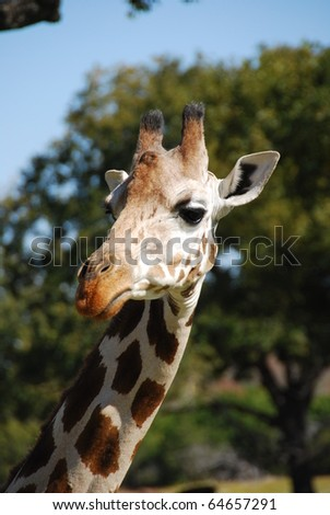 Portrait of a giraffe (giraffa camelopardalis) found in Northeast Kenya - stock photo