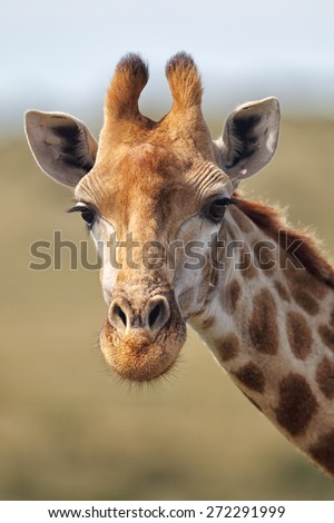 Portrait of a Giraffe (Giraffa camelopardalis) in the Amakhala Game Reserve, Eastern Cape, South Africa. - stock photo