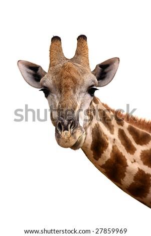 Portrait of a giraffe isolated against white ; Giraffa Camelopardalis - stock photo