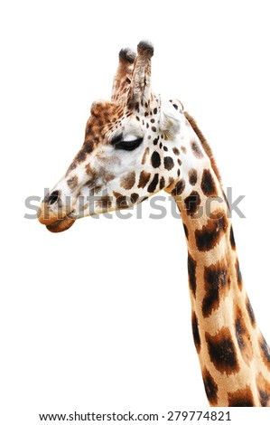Portrait of a giraffe isolated on a white background - stock photo