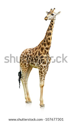 Portrait Of A Giraffe On White Background - stock photo