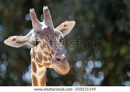 Portrait of a giraffe - selective focus on green background and bokeh