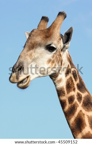 Portrait of a giraffe showing it's teeth