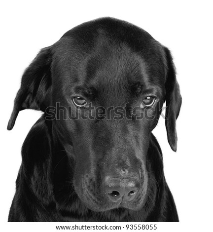 Portrait of a gloomy black labrador (in black and white, isolated on white) - stock photo