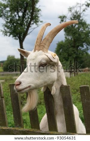 Portrait of a goat - stock photo