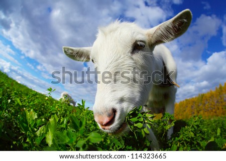 goat eating a goat eating the grass on the
