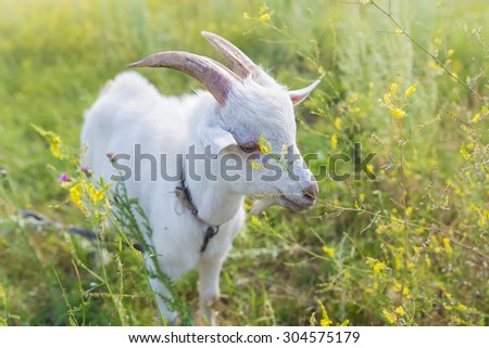Portrait of a goat eating a grass on green meadow - stock photo