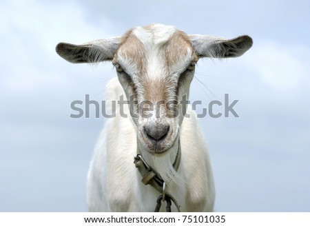 portrait of a goat, the blue sky