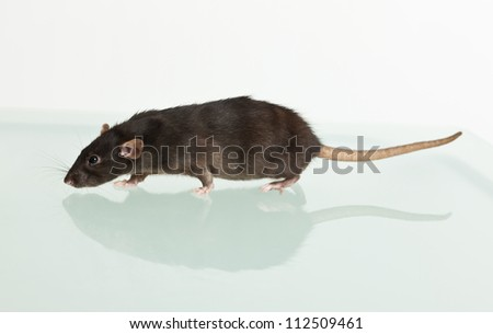 portrait of a going black rat and her reflection