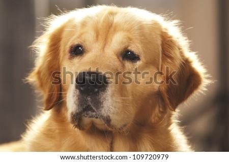 Portrait of a golden retriever - stock photo