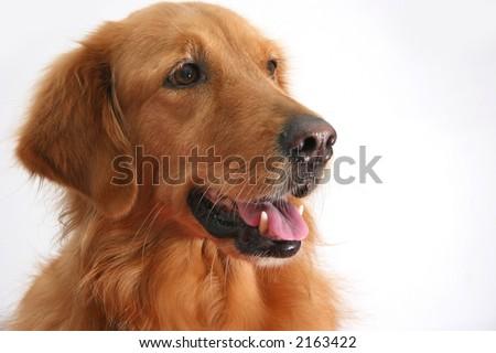 Portrait of a golden retriever shot in the studio - stock photo