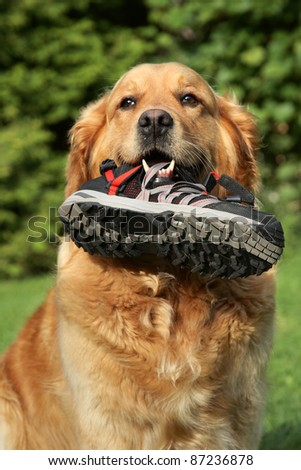 Portrait of a Golden retriever with a boot in teeth. Outdoor shot - stock photo