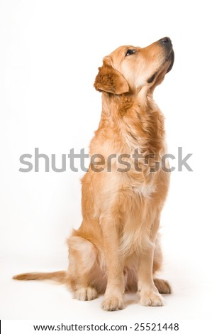 Portrait of a Golden Retriever with White background - stock photo