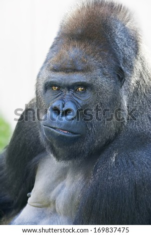 Portrait of a gorilla male, severe silverback. Menacing expression of the great ape, the most dangerous and biggest monkey of the world. The chief of a gorilla family.