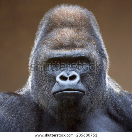 Portrait of a gorilla male, severe silverback, on light brown blur background. Grave look of the great ape, the most dangerous and biggest monkey of the world. The chief of a gorilla family. - stock photo