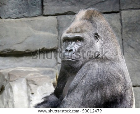 Portrait of a gorilla on background of a stone wall - stock photo