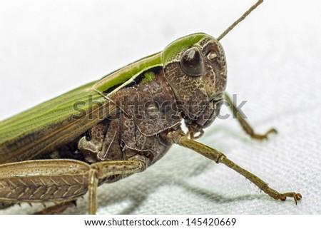 Portrait of a grasshopper - stock photo