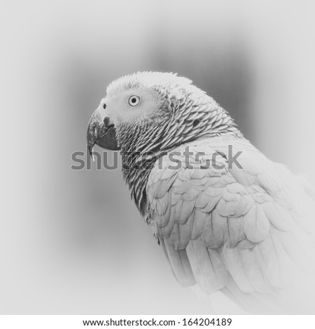 Portrait of a  Gray African Parrot  - stock photo