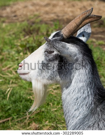 Portrait of a gray and white goat - stock photo