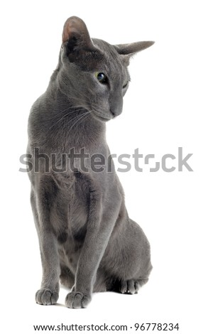 portrait of a gray oriental cat in front of white background - stock photo