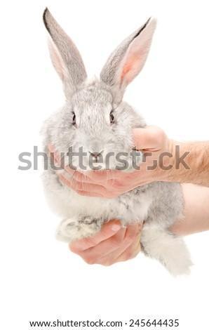 Portrait of a gray rabbit in male hands - stock photo