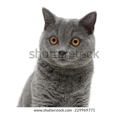 portrait of a gray Scottish cat on a white background. horizontal photo.