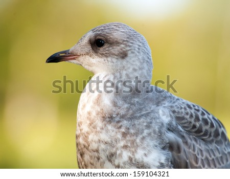 portrait of a gray seagull