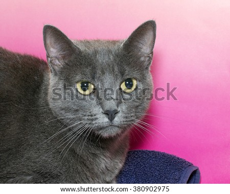 Portrait of a Gray short haired Chartreux tabby cat on a pink textured background. Looking to side. Copy space. - stock photo