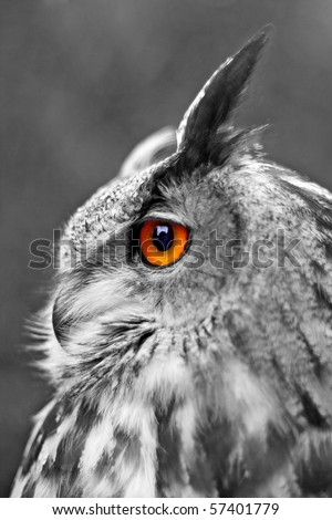 Portrait of a Great Eagle Owl, shallow dof, focus on eye. Selective color. - stock photo