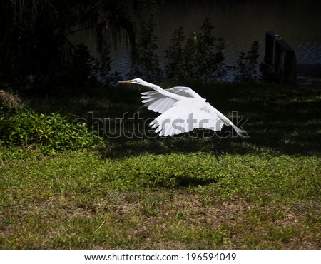Portrait of a  great white egret  flies - stock photo
