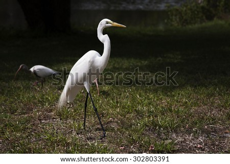 Portrait of a great white egret flies with nature background.  - stock photo