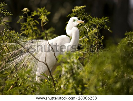 Portrait of a great white egret in lacy mating plumage. - stock photo
