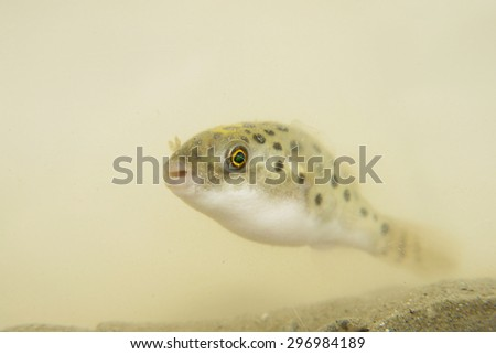 Portrait of a Green Spotted Puffer Fish