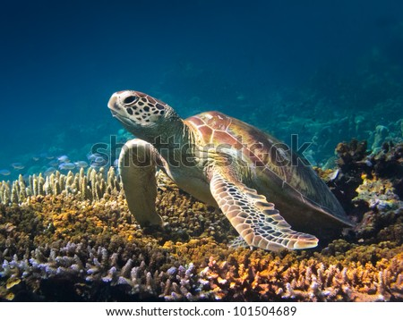 Portrait of a green turtle on a stag horn coral in Sipadan, Borneo. - stock photo