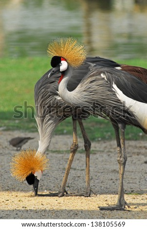 Portrait of a Grey Crowned Crane (Balearica Regulorum).