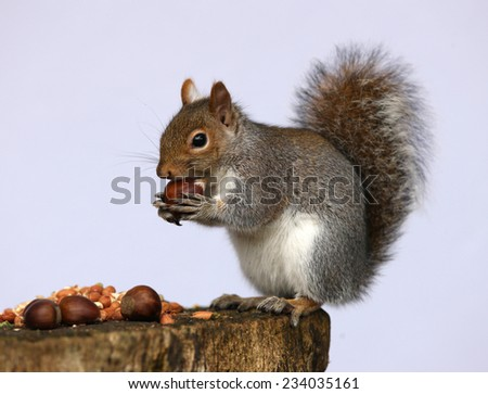 Portrait of a Grey Squirrel enjoying a feast of chestnuts and peanuts - stock photo