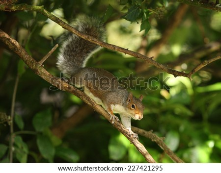 Portrait of a Grey Squirrel on a branch