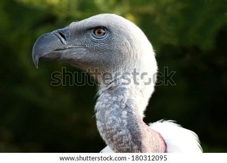 Portrait of a Griffon's vulture bird with a large hooked beak - stock photo