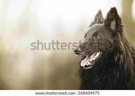 portrait of a groenendael dog puppy shepherd in spring background - stock photo